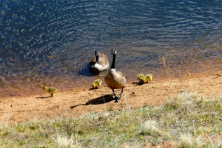 geese and babies 05-10-2012b