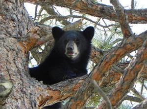 Colorado Parks & Wildlife - Bear