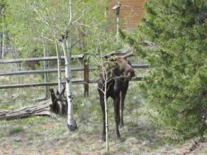 moose front 06-06-2013