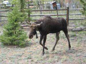 moose side1 06-06-2013