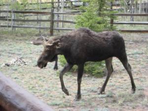 moose side2 06-06-2013