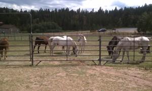 Horses 8-24-2013c