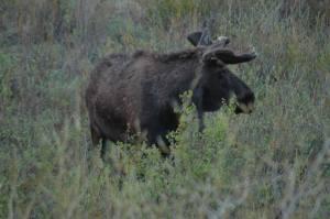 Moose_0137