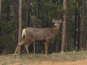 deer 05-08-2014