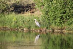 Blue Heron1-7-6-2014