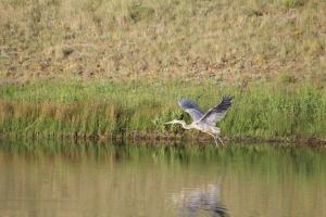 Blue Heron2-7-6-2014