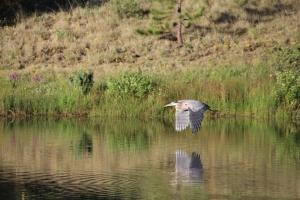 Blue Heron3-7-6-2014