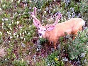 deer1 7-14-2014