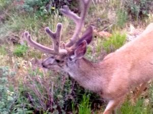 deer2 7-14-2014