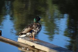 Mallard Duck1-7-6-2014