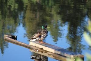 Mallard Duck2-7-6-2014