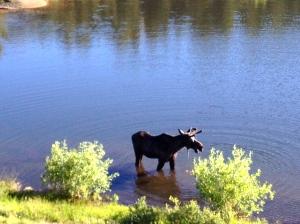 moose2 6-27-2014