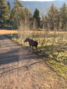 Moose 05232015