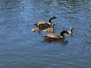 Geese 06142016