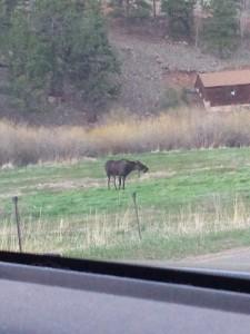 Moose 05252016
